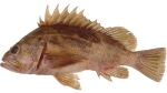 Brown_rockfish