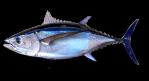 SM-Albacore-Tuna-3